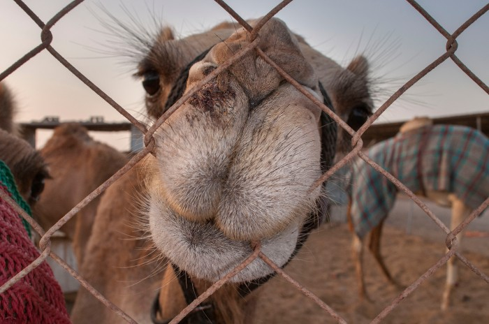 boats_wakra_camel-camel_gnawing_fence_livestock_market